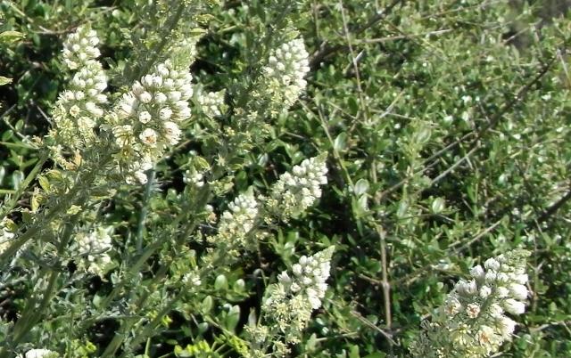Reseda alba - Réséda blanc Rimg0516