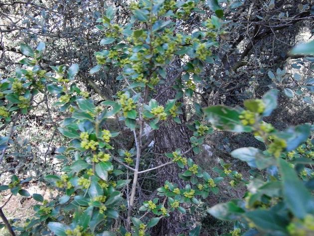 Rhamnus alaternus - nerprun alaterne Rimg1210