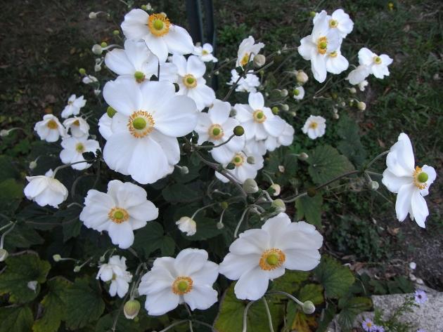 Anemone hupehensis - anémone de Chine ; Anemone hupehensis var. japonica - anémone du Japon - Page 2 Septem13