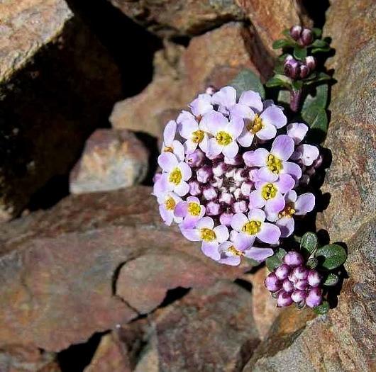 Noccaea rotundifolia - tabouret à feuilles rondes Tabour10