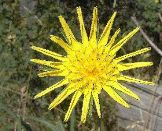 Tragopogon pratensis [identification à confirmer]  Tragop10