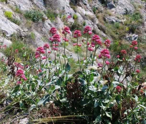 Centranthus ruber - valériane / centranthe rouge Verger11