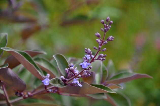 Vitex trifolia subsp. litoralis (= Vitex rotundifolia) Vitex_10