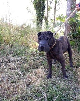 Zola sharpei 5 ans Un Toit pour Eux  65962610