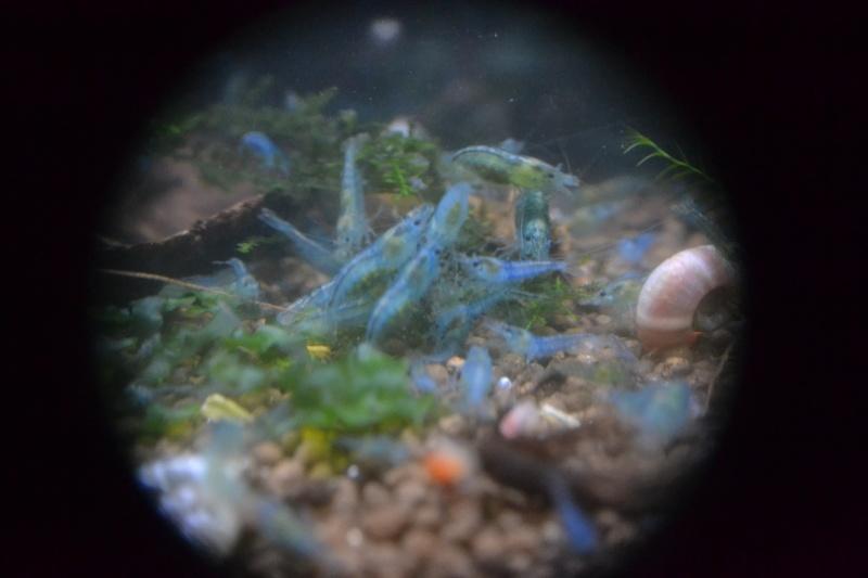 Crevettes d'eau douce 2013-012