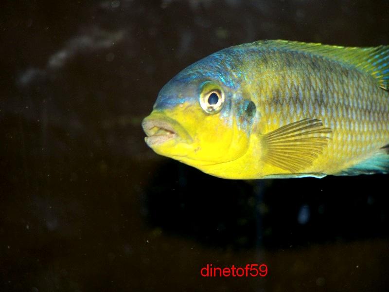 petrotilapia yellow ventral chizumulu 100_5220
