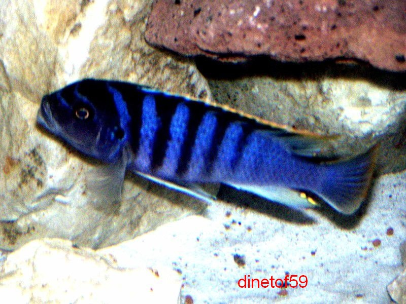 cyneusmarginatus chia lagoon Big_ph11