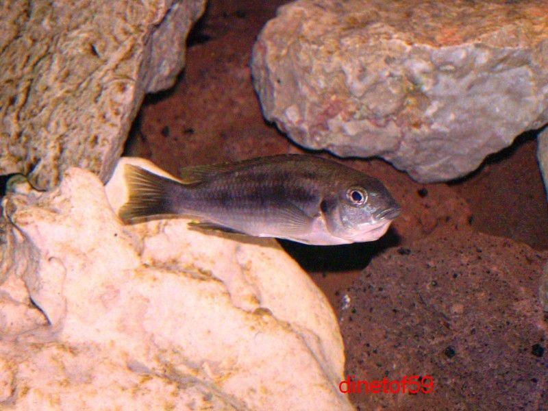 gephyrochromis lawsi Big_ph12
