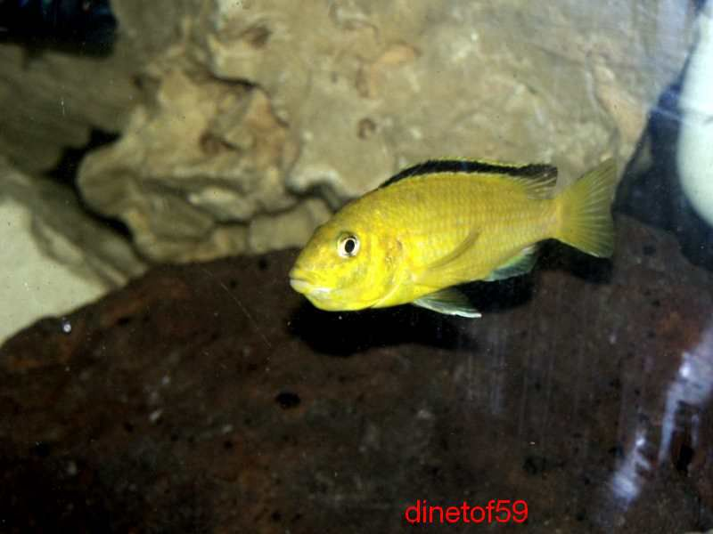 labidochromis caeruleus lion's cove Big_ph13