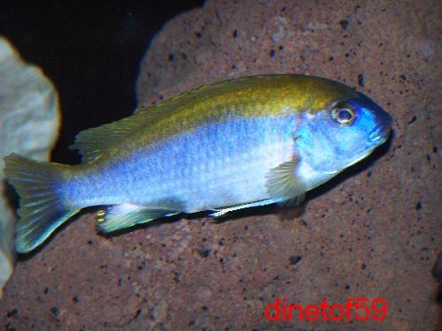 gephyrochromis lawsi Photo_10