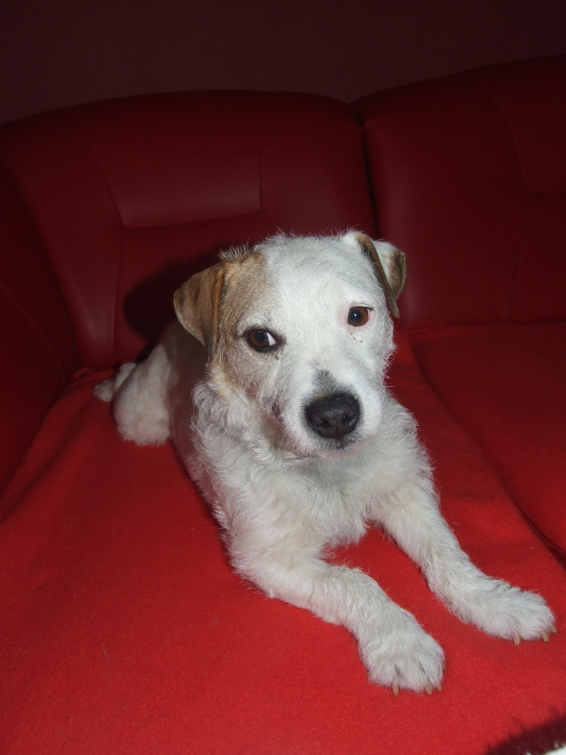 abricot jack russell 5 ans   Annive12