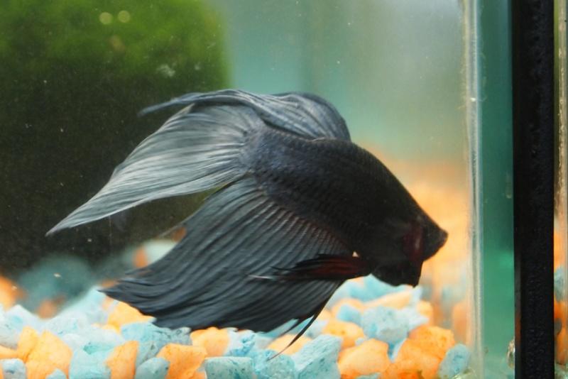 aquarium 35 L en route petite question  Black_10