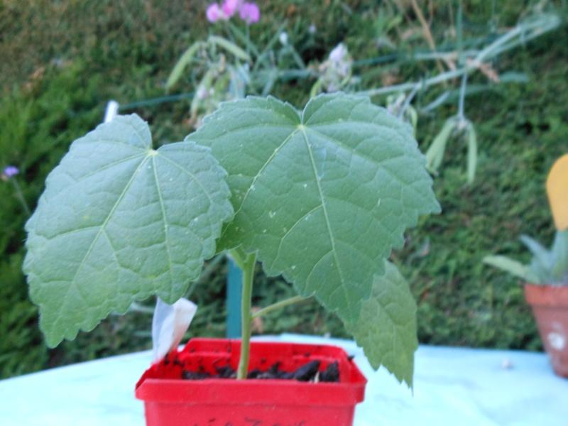 semis de graines d'hibiscus acetesolla Hibisc10