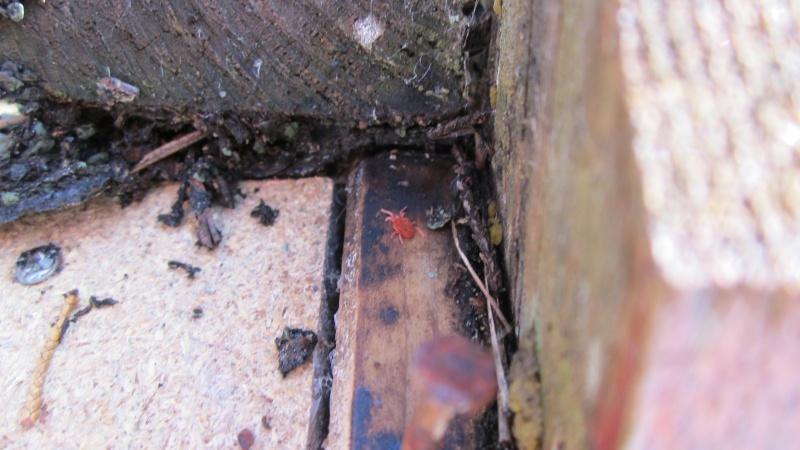 Araignée rouge 00510