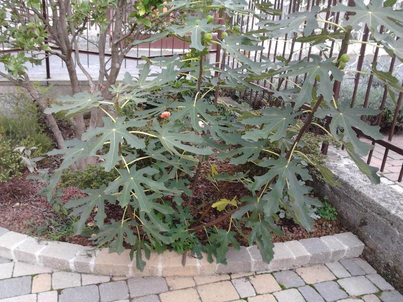 Piccolo Ficus Carica - Pagina 2 Bis01210