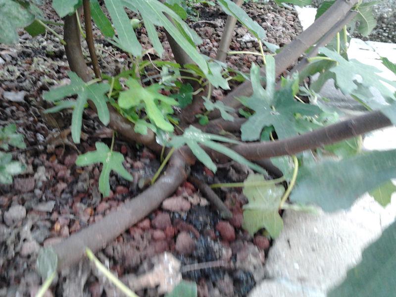 Piccolo Ficus Carica - Pagina 2 Bis20111