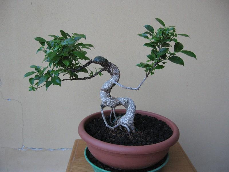 Ficus Retusa....lo abbasso ?? - Pagina 2 Img_6810