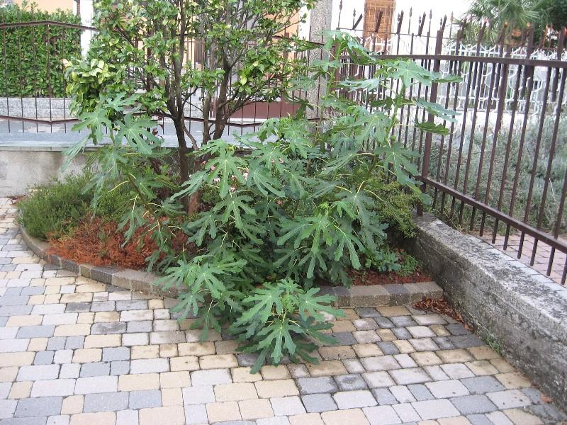 Piccolo Ficus Carica Img_7115
