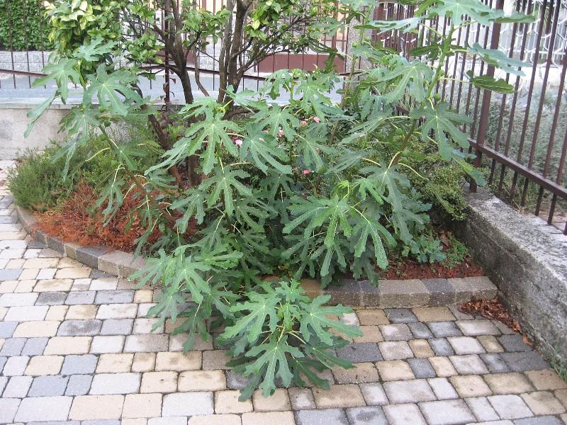 Piccolo Ficus Carica Img_7116