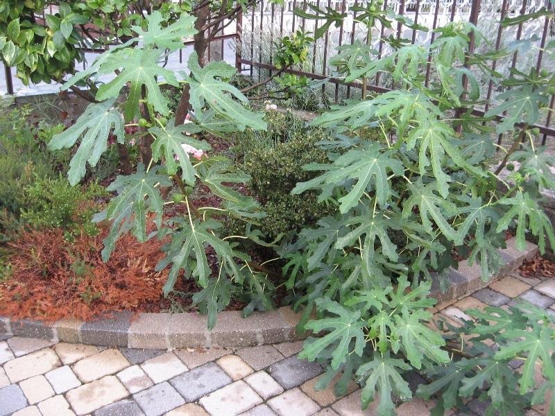 Piccolo Ficus Carica Img_7117