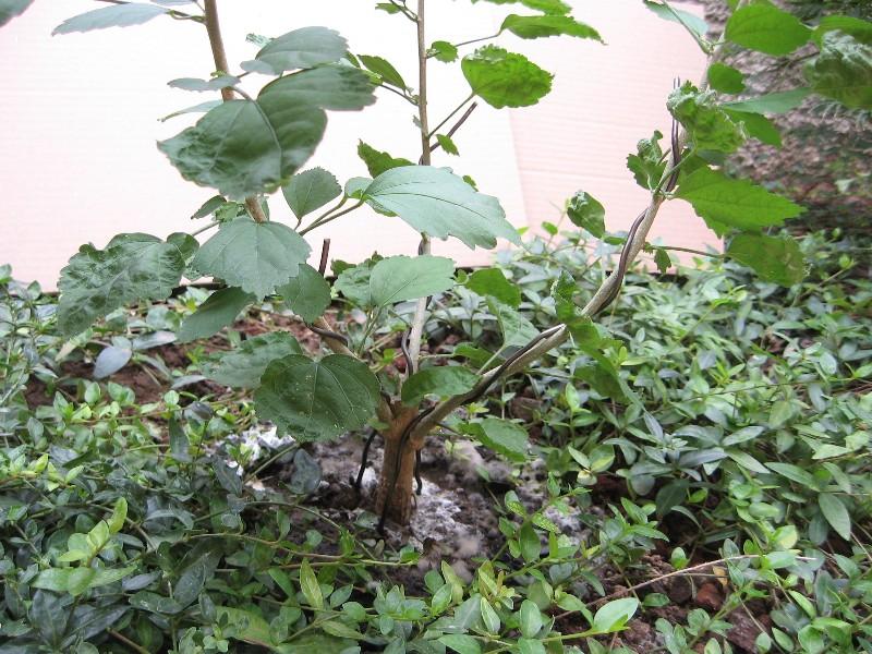 La storia di un piccolo hibiscus.... Img_7823