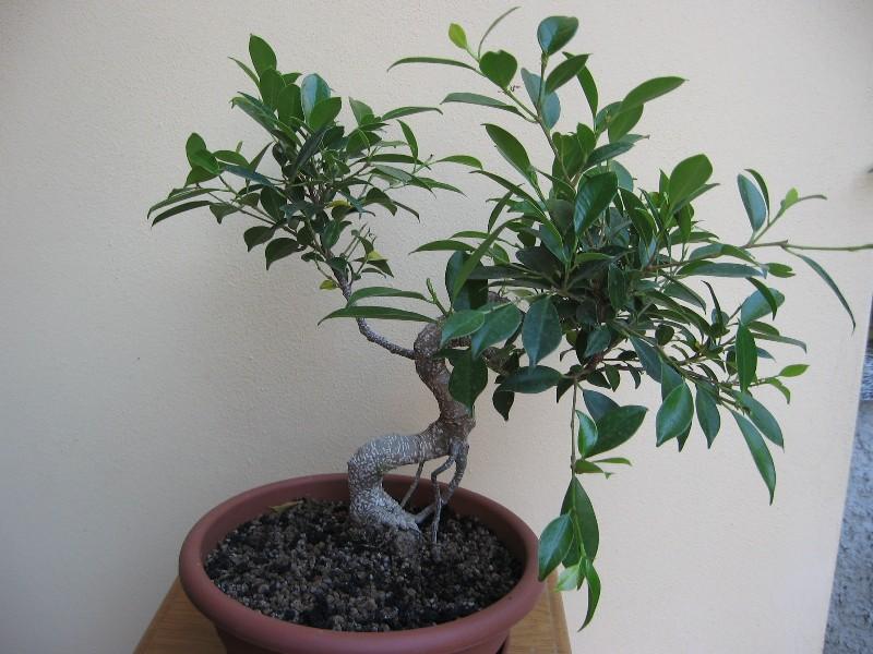 Ficus Retusa....lo abbasso ?? - Pagina 2 Img_7831