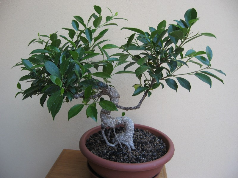 Ficus Retusa....lo abbasso ?? - Pagina 2 Img_7832