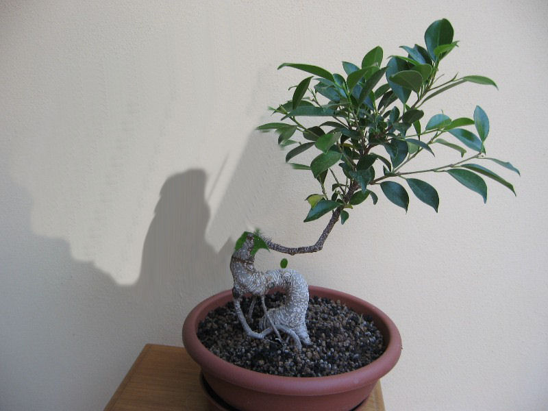 Ficus Retusa....lo abbasso ?? - Pagina 2 Img_7833