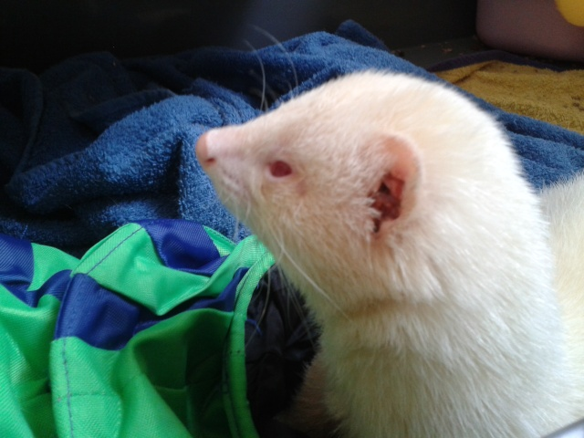 [Décédé] Donut, mâle albinos 20130617
