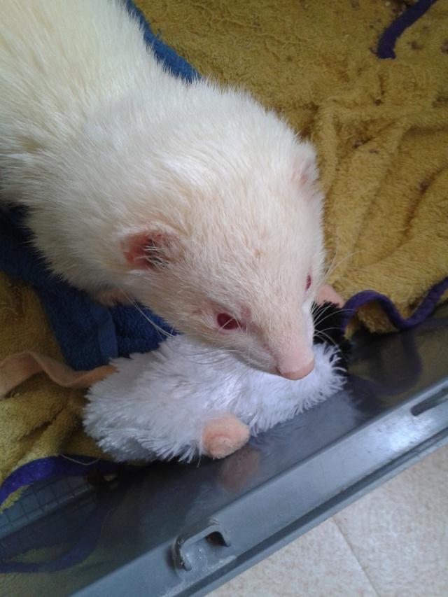 [Décédé] Donut, mâle albinos 20130619