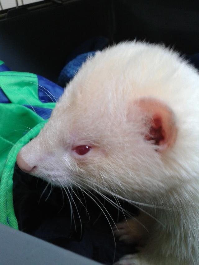 [Décédé] Donut, mâle albinos 20130620