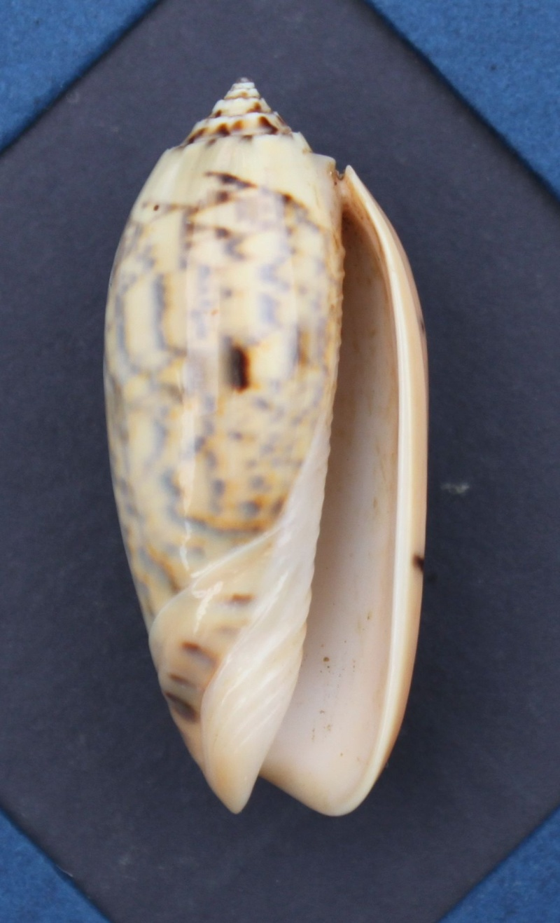 Oliva tremulina (Miniaceoliva) - Lamarck, 1811 Img_4710
