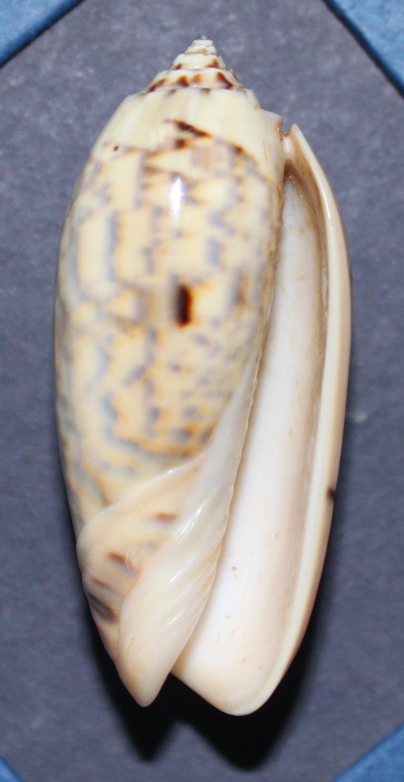 Oliva tremulina (Miniaceoliva) - Lamarck, 1811 Img_4_10