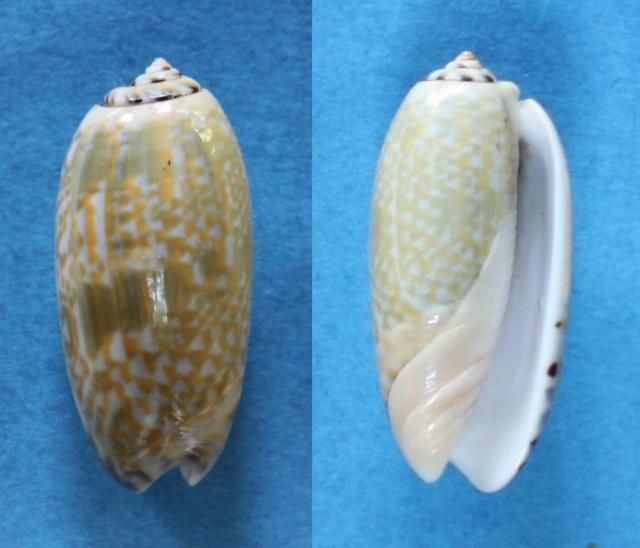 Viduoliva tricolor (Lamarck, 1811) Panor102