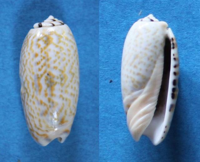 Viduoliva tricolor (Lamarck, 1811) Panor103