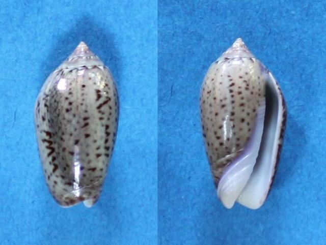 Americoliva polpasta (Duclos, 1833) Panor104