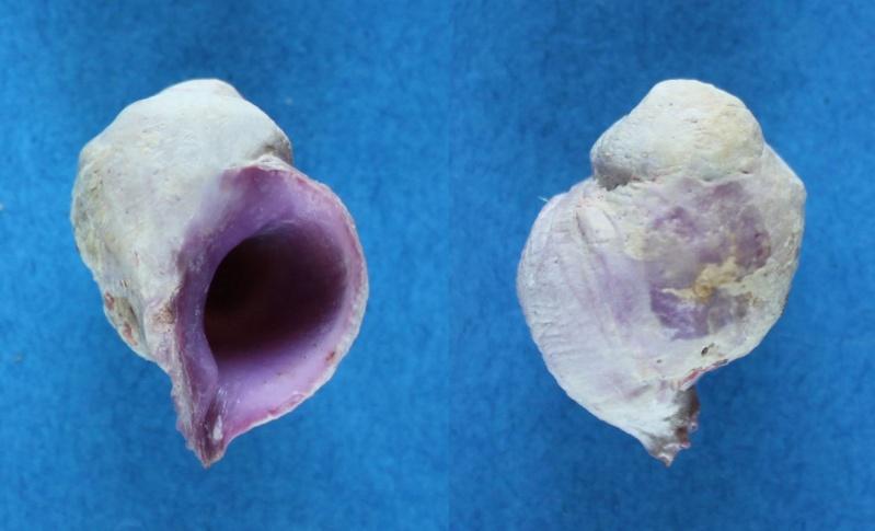 Coralliophila violacea - (Kiener, 1836) Panor114