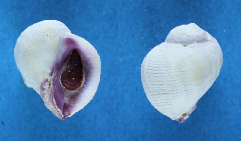 Coralliophila violacea - (Kiener, 1836) Panor116