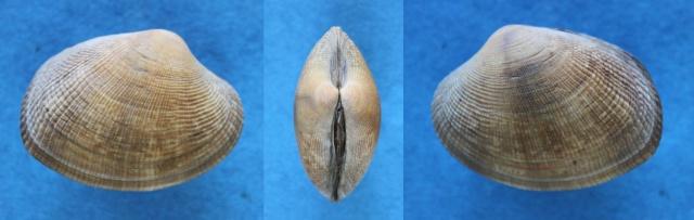 Ruditapes philippinarum - (Adams & Reeve, 1850) Panor140