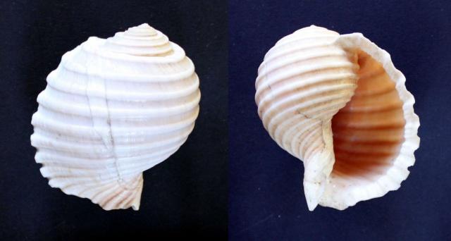 Tonna allium - (Dillwyn, 1817)  Panor144