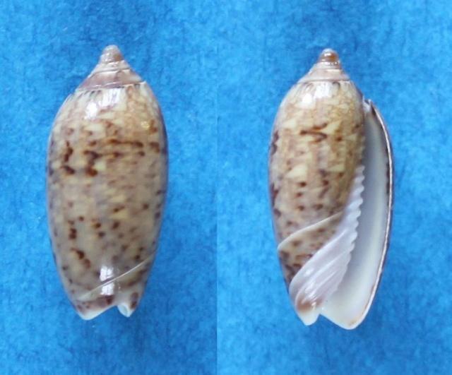 Americoliva reticularis ernesti (Petuch, 1990) Panor151