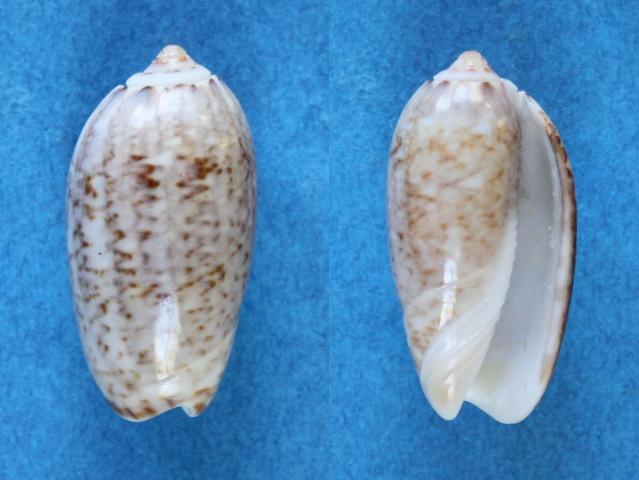 Americoliva tisiphona f. shepmani (Weissbord, 1962) voir Americoliva tisiphona (Duclos, 1845) Panor152