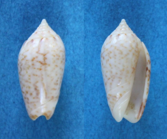 Americoliva subangulata corteziana (Petuch & Sargent, 1986) - Worms = Oliva spicata spicata (Röding, 1798) Panor155