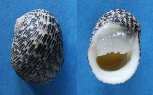 Nerita nigrita - Röding, 1798 Panor159