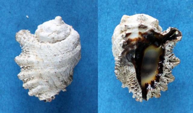 Drupina lobata - (Blainville, 1832) Panor165