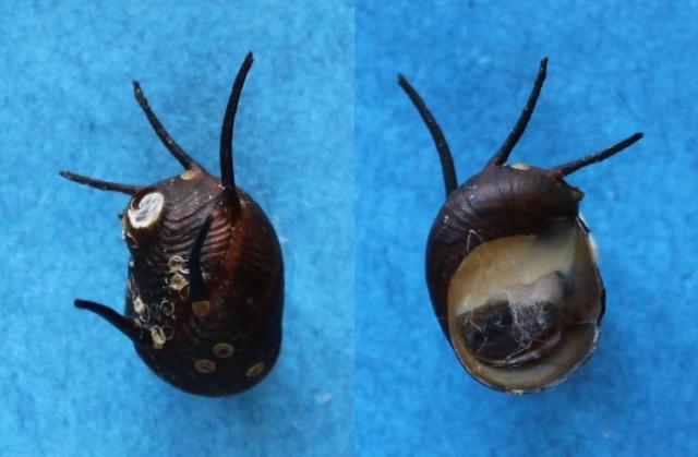 Clithon coronatum - (Leach, 1815) Panor169