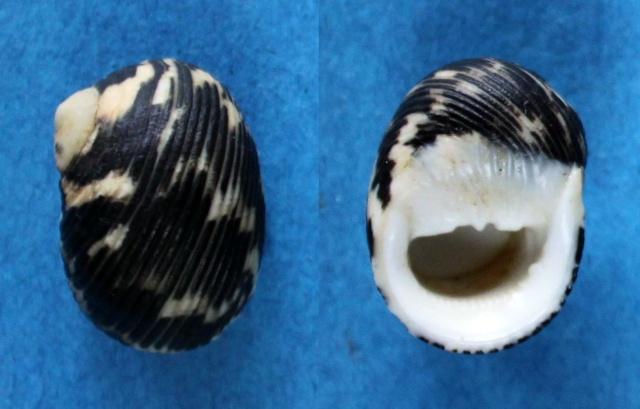 Nerita scabricosta - Lamarck, 1822  Panor170
