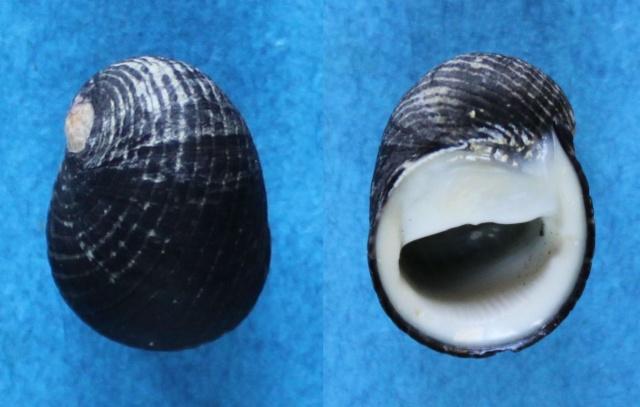 Nerita senegalensis - Gmelin, 1791 Panor171