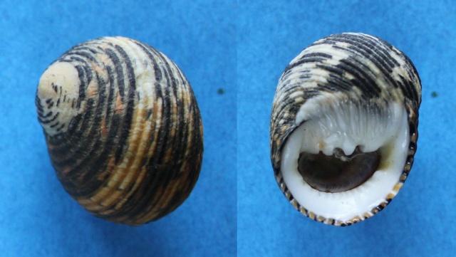 Nerita scabricosta - Lamarck, 1822  Panor177