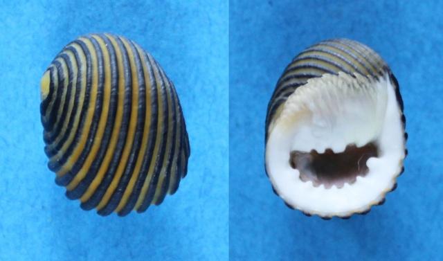Nerita costata - Gmelin, 1791  Panor180